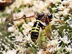 Schöne Blattwespe(Tenthredo amoena(Gravenhorst 1807)) beim Blütenbesuch