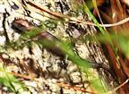 Junge Waldeidechse(Zootoca vivipara(Lichtenstein 1823))