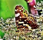 Landkärtchen(Araschnia levana(f. prorsa))(Sommergeneration) beim Blütenbesuch