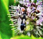 Raupenfliege(Lophosia fasciata(Meigen 1824))