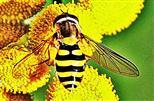 Große oder Garten-Schwebfliege(Syrphus ribesii(L. 1758)) beim Blütenbesuch
