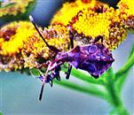 Nymphe der Lederwanze(Coreus marginatus(L. 1758)) beim Blütenbesuch
