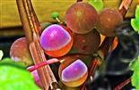 Weinrebe(amerikanisch, Hybridsorte) vor einer Mauer