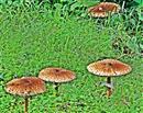 Gemeine Riesenschirmlinge(Macrolepiota procera(Scop.;Fr.) Singer)