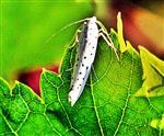 Pfaffenhütchen-Gespinstmotte(Yponomeuta cagnagella(Hübner 1813)) auf einem Blatt einer Weinrebe(Vitis(L.))