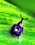 Glänzendschildiger Braunwurzschaber(Cionus tuberculosus(Scopoli 1763))