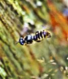 Scherenbiene(Chelostoma florisomne(L. 1758)) im Anflug