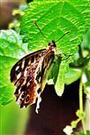 Waldbrettspiel(Pararge aegeria(L. 1758)) ruhend