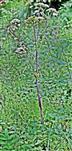 Wald-Engelwurz(Angelica sylvestris(L. ))
