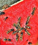 Gemeine Wespe(Vespula vulgaris(L. 1758)) auf Reste einer Wassermelone(Citrullus lanatus(Thunberg)Matsum & Nakai)) (Kompost)