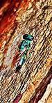 Blaue Goldwespe(Tri-)Chrysis cyanea(L. 1758)) 01