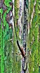 Schlupfwespe(Ephialtes manifestator(L. 1758)) 01