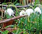 Schneeglöckchen gefüllt(Galanthus (Flore pleno - auf italienisch gefüllte Blume))