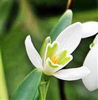 Blüte eines kleinen Schneeglöckchens(Galanthus nivalis(L.))