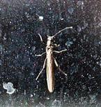 Köcherfliege(Leuctra fusca)