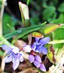 Zweiblättriger Blaustern(Scilla bifolia(L.))