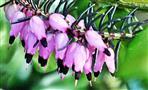Blüten einer Schneeheide(Erica carnea(L.))