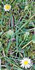 Zwei Gänseblümchen(Bellis perennis(L. ))