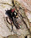 Goldhalsschwebfliege(Meliscaeva auricollis(Meigen 1822))