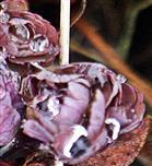 Blätter einer Akelei(Aquilegia(L.)) mit Regentropfen