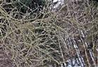 Weidenkätzchen(Salix(L.))