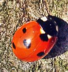 Siebenpunkt-Marienkäfer(Coccinella septempunctat(L. 1758)) 01
