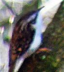Waldbaumläufer(Certhia familiaris(L. 1758))