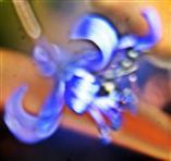 Blüte des zweiblättrigen Blausterns(Scilla bifolia(L.))