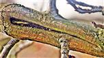 Überwallung einer Verletzung am Zweig einer Pflaume(Prunus domestica(L.))