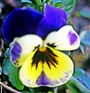 Blüte eines (wohl gezüchteten) Garten-Stiefmütterchen