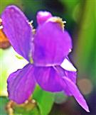 Duftendes Veilchen(Viola odorata(L.))
