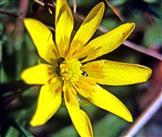 Blüte eines Scharbockkrautes(Ficaria verna(Huds.))