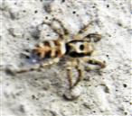 Zebraspringspinne(Salticus scenicus(Clerck 1757))
