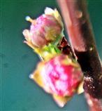 Knospende Mandelblüten(Prunus dulcis(Mill.) D. A. Webb)
