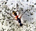Flügelpunkt-Schwingfliege(Sepsis punctum(Fabricius 1794))