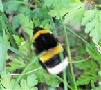Dunkle Erdhummel(Bombus terrestris(L. 1758)) auf Nestsuche