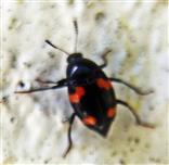 Vierfleckiger Kahnkäfer(Scaphidium quadrimaculatum(Olivier 1790))