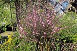 Mandelbäumchen(Prunus dulcis((Mill.)D.A. Webb) in Blüte