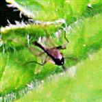 Zuckmücke(Chironomus)