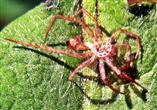 Exuvie(Haut) einer Wolfspinne(Lycosidae)