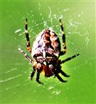Gartenkreuzspinne(Araneus diadematus(Clerck 1757)) im Spinnennetz