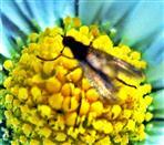 Langbeinfliege(Rhaphium crassipes(Meigen 1824))