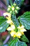 Blütenquirle der Gewöhnlichen Taubnessel(Lamium galeobdolon(L.))