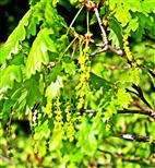 Kätzchen einer Traubeneiche(Quercus petraea(L.))