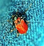 Scharlachroter Feuerkäfer(Pyrochroa coccinea(Latreille 1807))