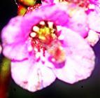 Blüte der Herzblättrigen Bergenie(Bergenia cordifolia(Moench))
