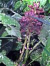 Wohl vertrockneter Blütenstand(letztjährig) einer Gewöhnlichen Pestwurz(Petasites hybridus(L.) Gaertn.)