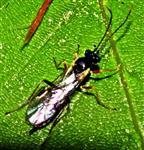 Schlupfwespe(Cryptinae)