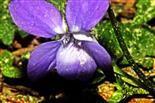 Blüte eines Waldveilchens(Viola reichenbachiana(Boreau))