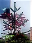 Chilenische Araukarie(Araucaria araucarna(Molina) K.Koch)